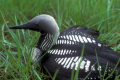 Arctic Loon or Pacific Loon